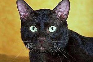 داستان گربه سیاه ادگار آلن پو