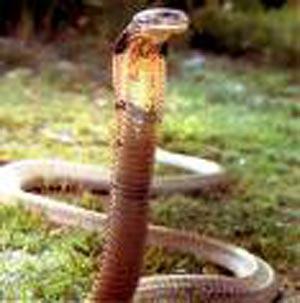 ga king snake pictures